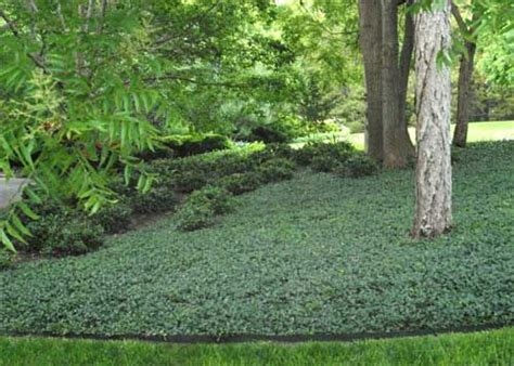 backyard ground cover shade ground cover shade garden pinterest shades