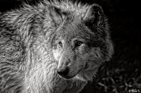 black and white wolves wallpaper black and white wolf 21 background hdblackwallpaper com