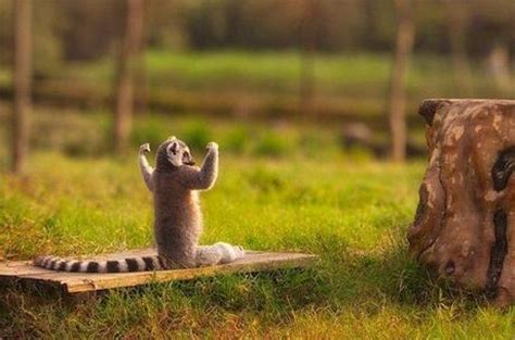 Lemur I Like To Move It Move It by Pic Of The Day Real King Julien Paperblog
