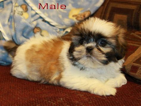 adorable shih tzu puppies home shih tzu puppy puppies for sale dogs for sale in ontario canada curious