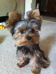 yorkshire terrier haircuts instructions yorkie hairstyles puppies pinterest yorkie
