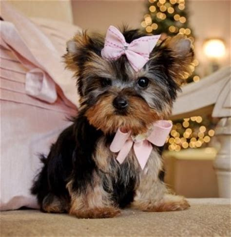 show me a picture of a teacup yorkie 158 best images about cutest yorkies on puppys haircuts and yorkie