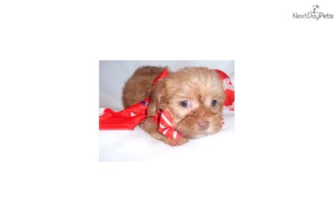 yorkie puppies for sale in jackson ms yorkiepoo yorkie poo puppy for sale near jackson mississippi 0f312871 c0f1