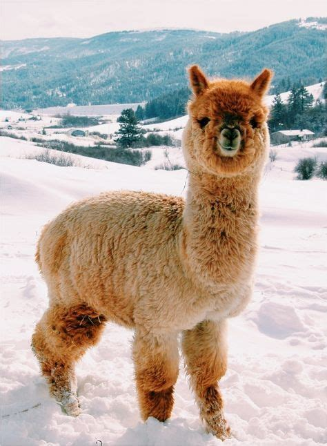 Gorgeous Alpaca From by Best 20 Alpacas Ideas On