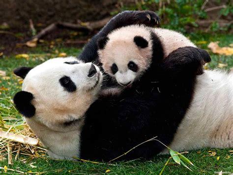 oso panda oso panda 0805087567 28 000 euros por abrazar osos panda beb 233 s buho