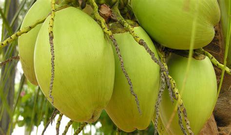 cara membuat manisan mangga tua cara membuat manisan kelapa kering resep manisan