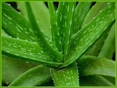 aneka tanaman hias  berguna  obat herbal