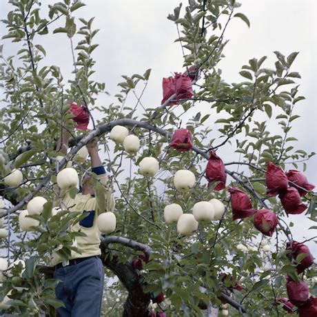 apple japan tattooed apples american orchard