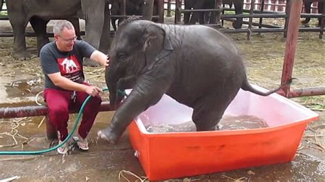 excited baby elephant dives into bath and