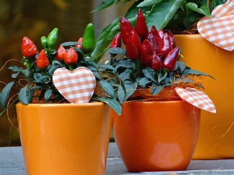 peperoncini in vaso tutto ma proprio tutto sul peperoncino informacibo