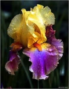 iris flower colors best 25 irises ideas on iris flowers iris