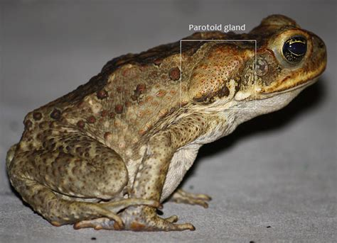 are toads poisonous to dogs toads can be deadly cayo animal welfare society
