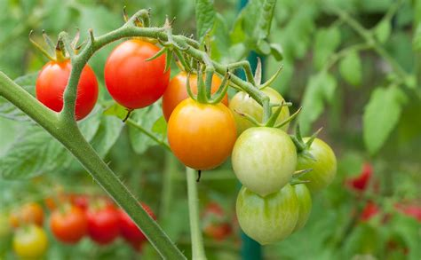 High Yield Tomato (10 gms) Seeds   GreenMyLife   Anyone