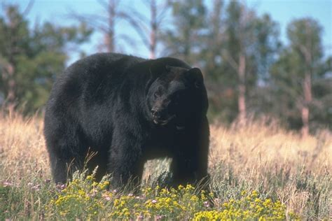 Black Bears hearings set for nc temporary black