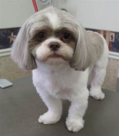 how to cut hair on a shihpoo shih tzu short haired chihuahua mix dog