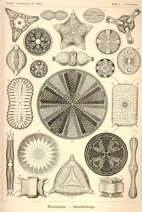 the and science of ernst haeckel multilingual edition books ernst haeckel kunstformen der natur tafel 4