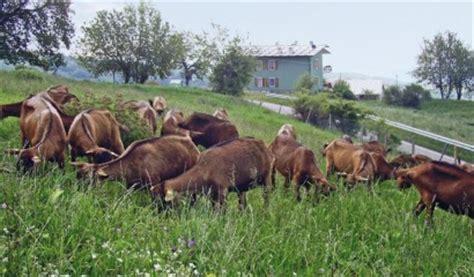 alimentazione per capre alimentazione capre 28 images capretti 0 2 mesi