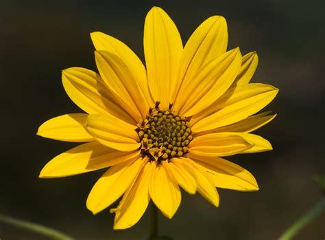 fiori topinambur topinambur rezzoaglio