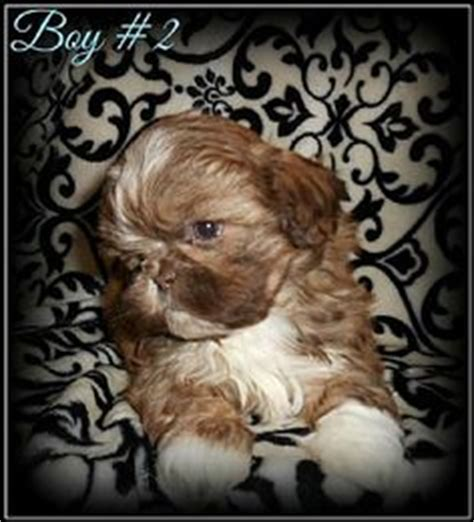 want ad digest puppies shih tzu puppies pet puppies for sale in hannacroix ny a00006 want ad digest
