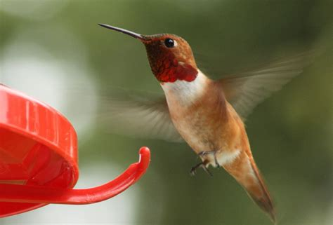canadian wildlife federation rufous hummingbird