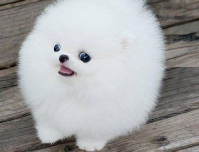 white fluffy teacup pomeranian puppies 25 best ideas about teacup pomeranian on teacup pomeranian puppy teacup