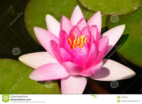Emberly Top Z By Lotuz top view pink lotus flower and leaves in the pond stock