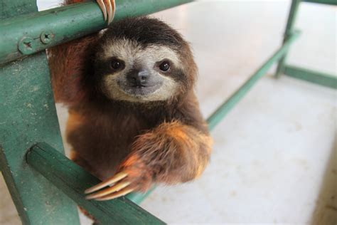 The gallery for   > Cute Sloths In Trees
