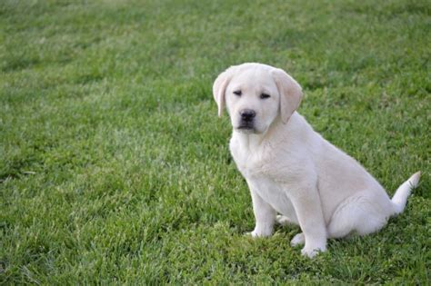 golden retriever breeders maryland golden retriever puppies sale maryland photo