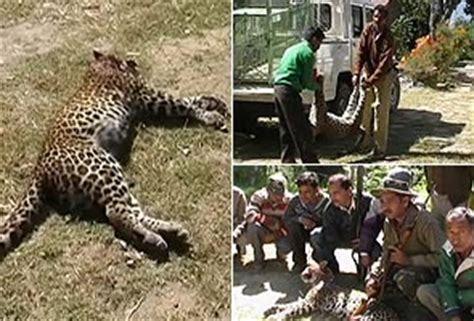 hunters appointed to kill leopards