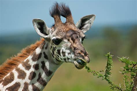 imagenes de jirafas comiendo hojas jirafa wiki reino animalia fandom powered by wikia