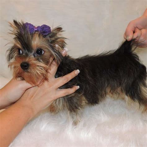 golden yorkie for sale yorkies for sale purchase golden puppy sky