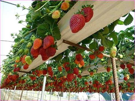 Hanging Strawberry Planter Diy by Strawberry Planters Te Dikiciler Ve Bah 231 Ecilik