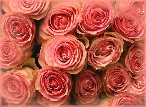 wallpaper 4k rose wallpaper pink roses hd 4k flowers 3925
