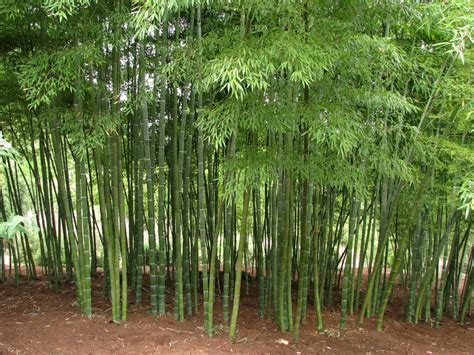 bamboo plant bamboo plants indoor care youtube