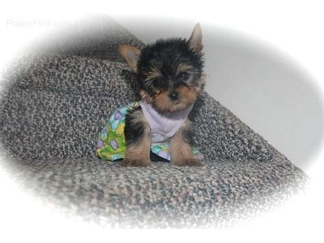 teacup yorkies for sale in charleston sc and adorable home trained yorkie puppies my lovely and animals
