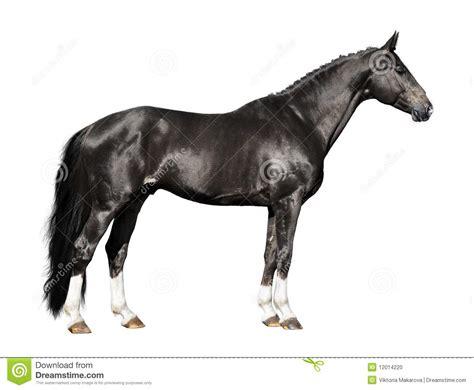 imagenes a blanco y negro de caballos caballo negro aislado en el blanco foto de archivo