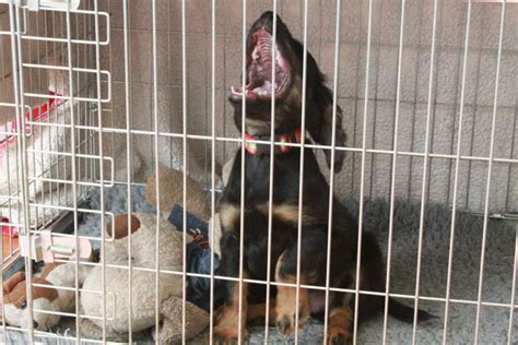 puppy cries all in crate why your puppy pup puppies cries at how to overcome it and crate by