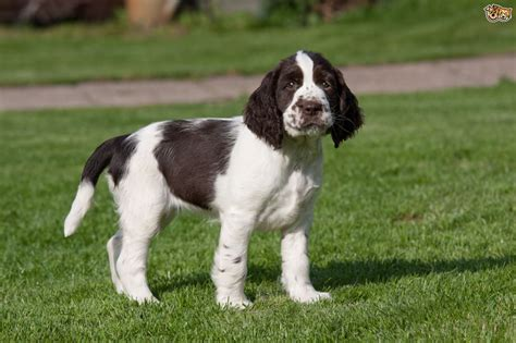 springer puppies springer spaniel breed information buying advice photos and facts pets4homes