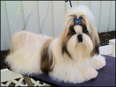 6 month shih tzu mr foo s shih tzu of indiana kentucky missouri illinios ohio michigan indy home