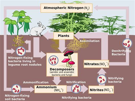 diagram of nitrogen cycle nitrogen cycle