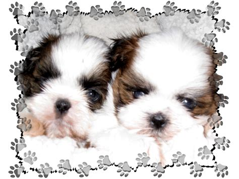 junique shih tzu xvon image shih tzu puppy sale
