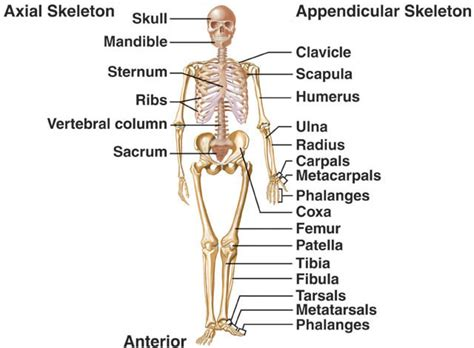 human anatomy charts page 4 of 351 inner body anatomy