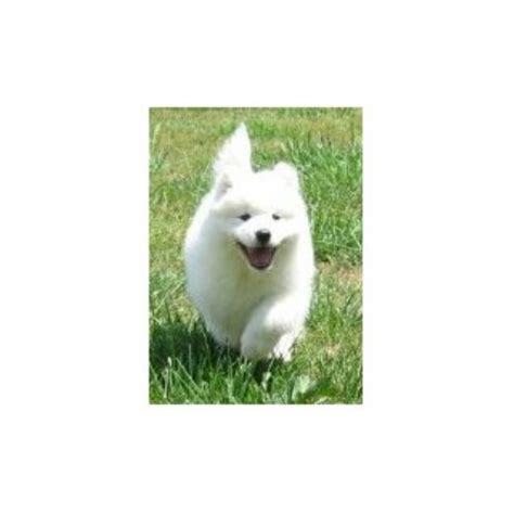 rottweiler rescue evansville indiana samoyed breeders in indiana freedoglistings