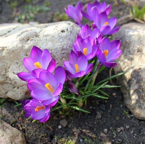 fiori crocus crocus bulb growing what is the best time to plant a crocus