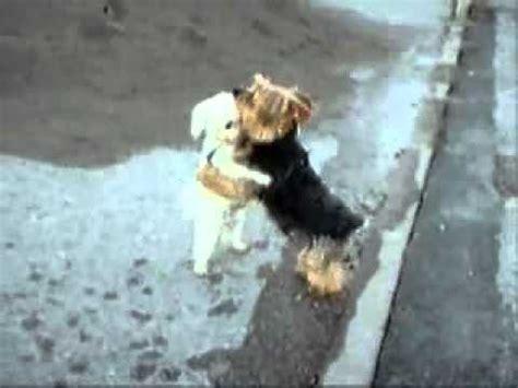 imagenes chistosas bailando 2 perritos bailando juntos perros locos humor divertidos