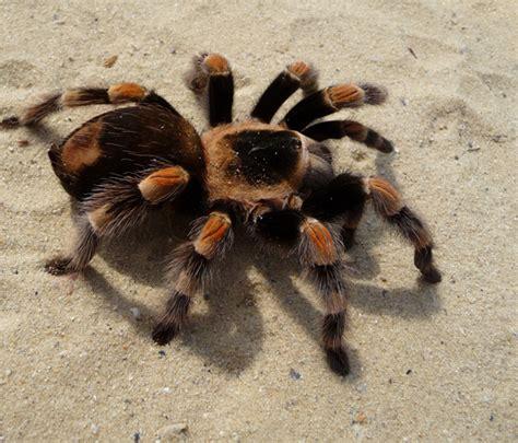 tarantulas hometeam pest defense