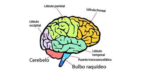 imagenes de el cerebro humano partes del cerebro humano y funciones