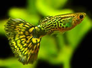 most colorful freshwater tropical fish