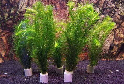 vasi per piante acquatiche piante acquatiche vendita piante fitodepurazione