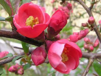 cotogno da fiore cotogno da fiore ideale per aiuole o in balcone consigli